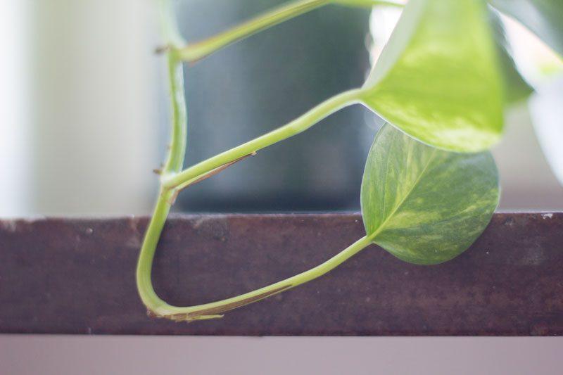 gullranka som skjuter ut ett nytt blad