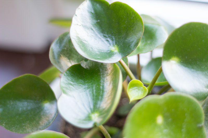 peperomia rain drop med nytt bebisblad