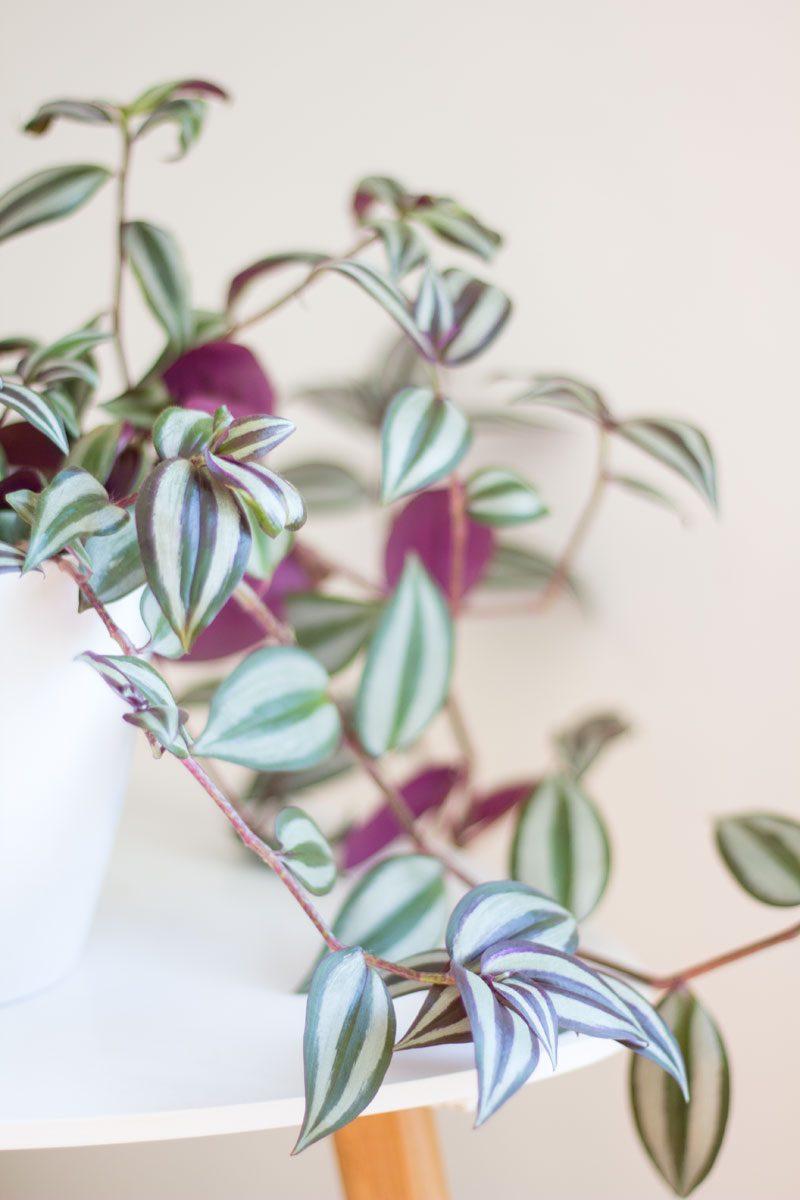 zebrablad tradescantia randig växt